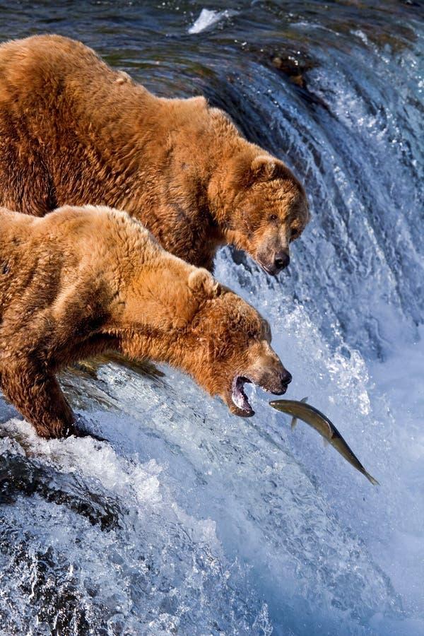 Grizly Bear at Alaska royalty free stock photo