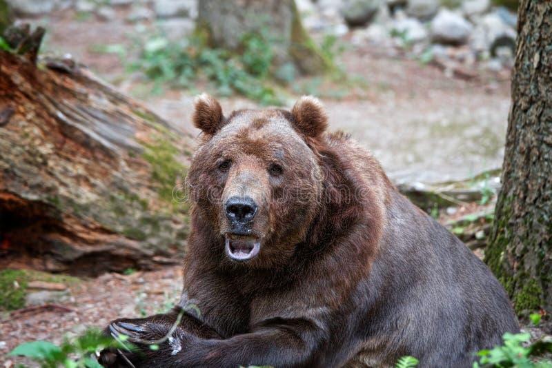 Grizzle brunbjörn som äter och sitter royaltyfria foton