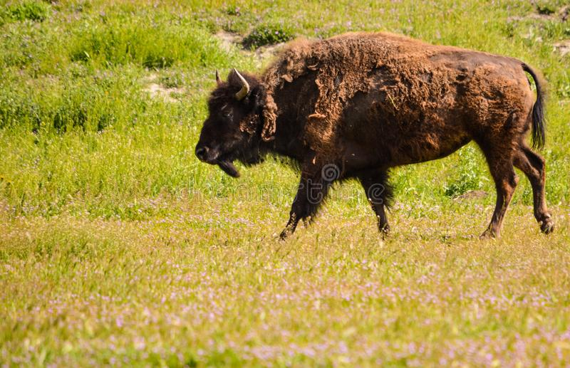 Grizzled Bison stock images