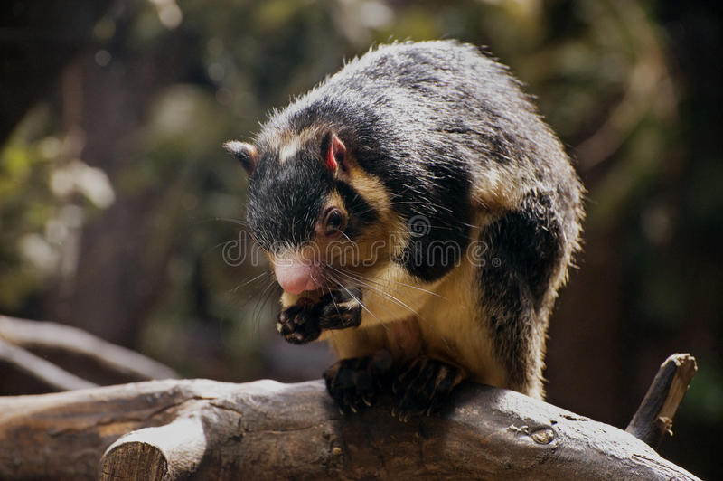 Grizzled Giant Squirrel. Eating fruit royalty free stock photos