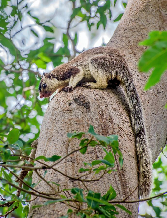 Grizzled giant squirrel is endemic to south India. They are good at jumping from trees to trees. Grizzled giant squirrel with long tail. It`s a rare species royalty free stock photos