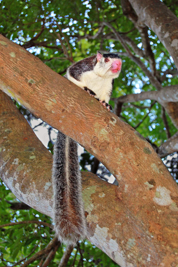 Grizzled Giant Squirrel. Ratufa macroura royalty free stock images