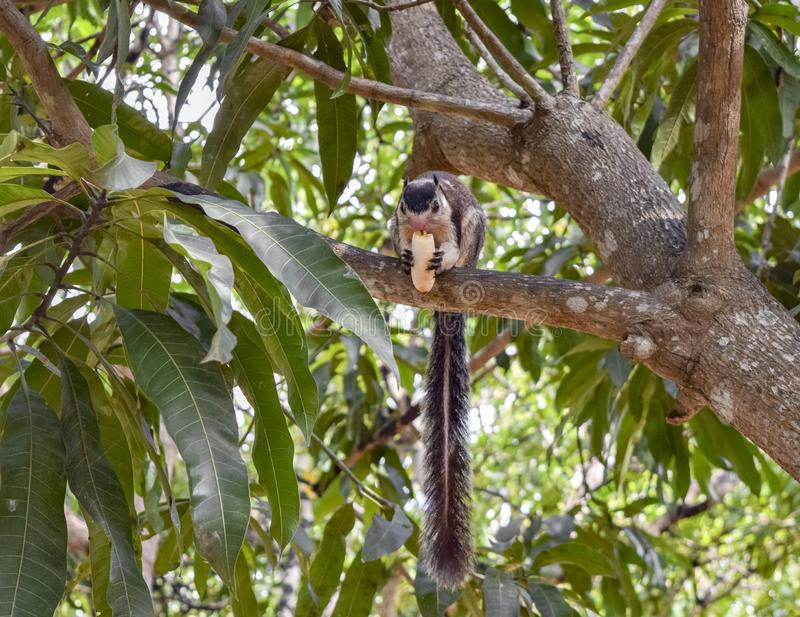 Grizzled giant squirrel. In a tree top seen in Sri Lanka royalty free stock image