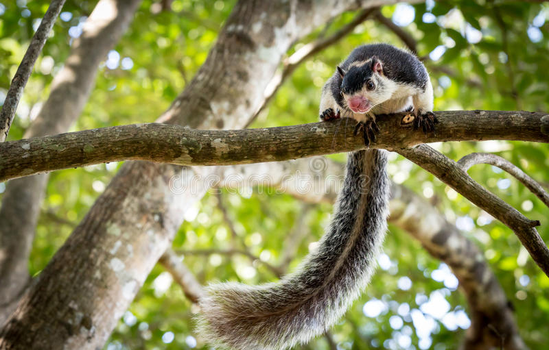Grizzled Giant Squirrel. Among trees in jungle stock images