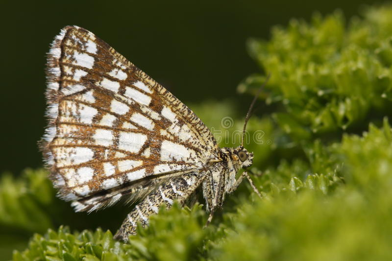 Grizzled skipper stock image