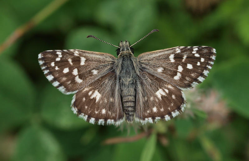 Download Grizzled Skipper stock photo. Image of butterfly, meadow - 15145650