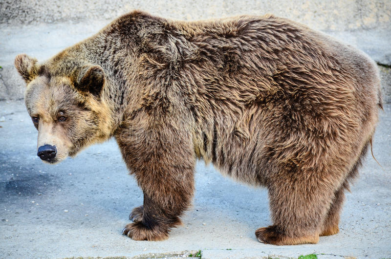 Grizzley-Bär, der für Lebensmittel herumsucht stockfotografie