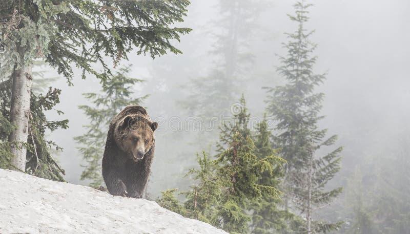 Grizzley-Bär, der für Lebensmittel herumsucht stockbilder