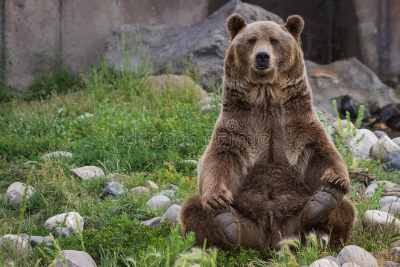 Grizzley björn som söker efter föda för mat royaltyfri fotografi