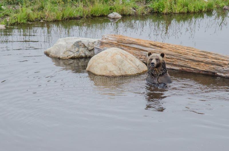 Grizzley björn som söker efter föda för mat arkivbild