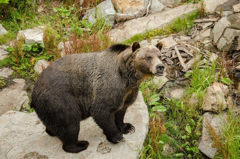Grizzley björn som söker efter föda för mat arkivfoton