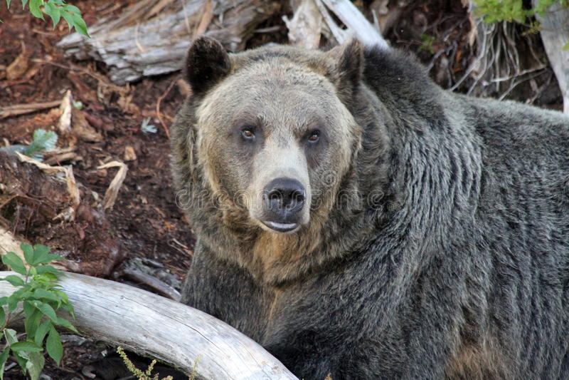 Grizzley draagt voederend voor voedsel stock afbeelding