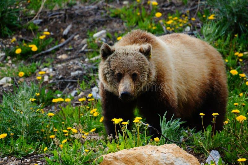 Grizzley niedźwiedź foraging dla jedzenia obrazy stock