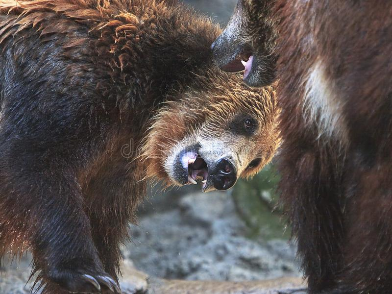 Grizzley or North American Brown Bears Playing. Two adolescent Grizzley bears, also known as the North American Brown Bear, playing. One bear ducking head and stock photo