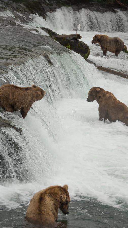 Grizzlies που πιάνει το σολομό - πτώσεις ρυακιών - εθνικό πάρκο Katmai, Αλάσκα στοκ φωτογραφίες με δικαίωμα ελεύθερης χρήσης