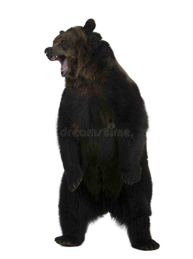 Grizzly, 10 jaar oud, status royalty-vrije stock fotografie