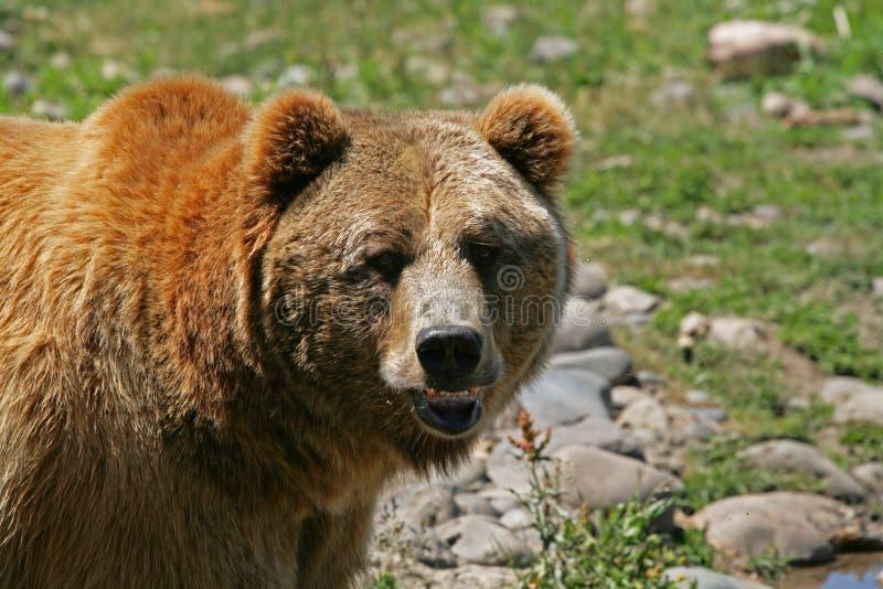 grizzly royaltyfri foto