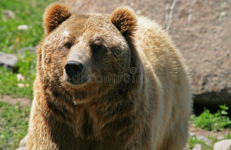 grizzly fotografering för bildbyråer