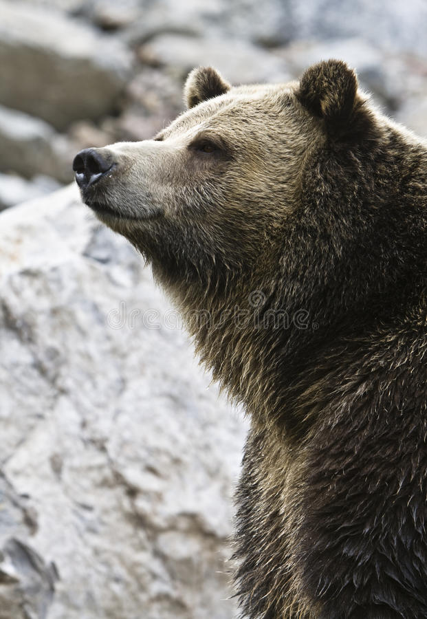 grizzly arkivfoto