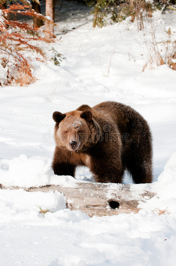 Download Grizzly stock image. Image of snow, mammal, wild, winter - 19694587