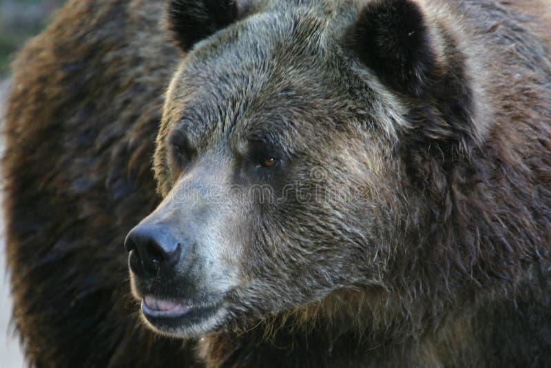 Grizzly royalty-vrije stock afbeeldingen