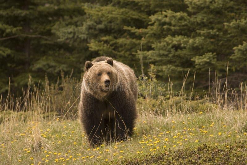 Grizzly, royalty-vrije stock fotografie