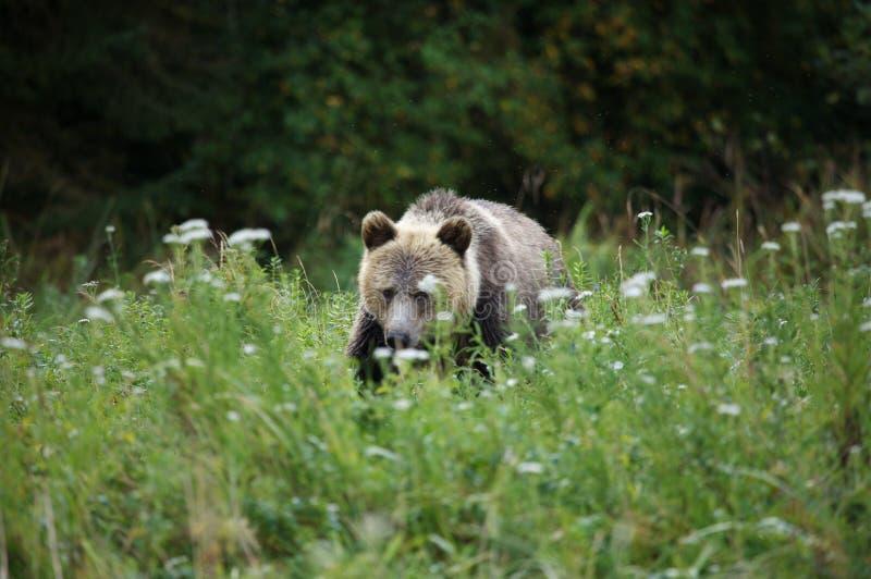 grizzly royaltyfri bild