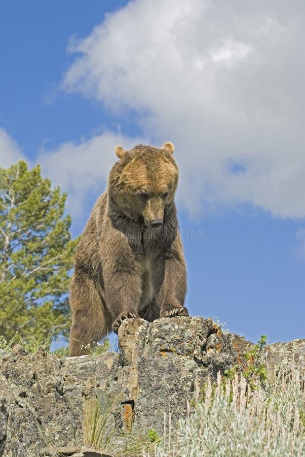 Grizzly stock fotografie