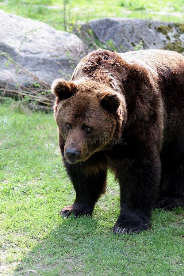 grizzly arkivbilder
