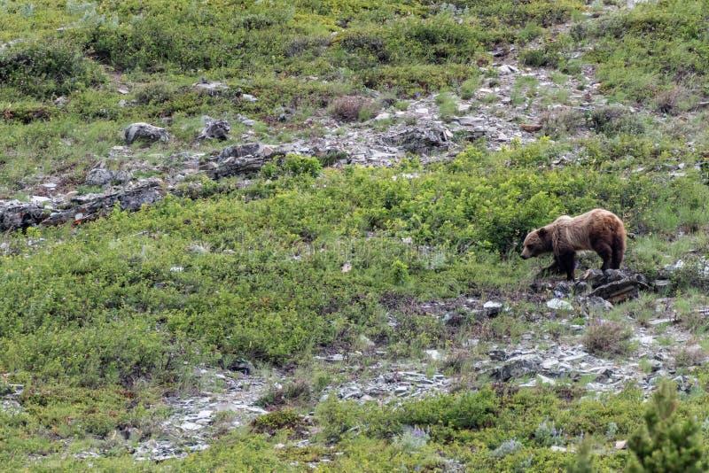 Grizzly Andando Pelo Campo De Fenda foto de stock