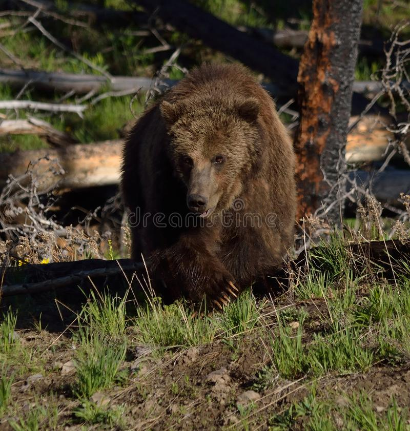 Free Grizzly Approach Stock Photos - 132867513