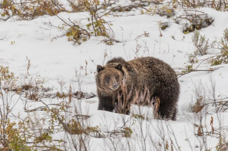 Grizzly in Autumn Snow in Wyoming stock fotografie