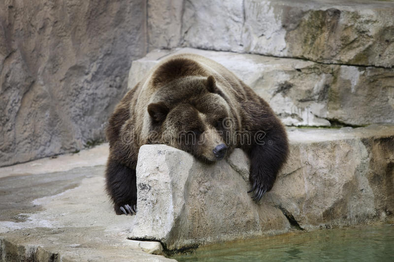 Download Grizzly Bear stock photo. Image of grizzly, enclosure - 10036860