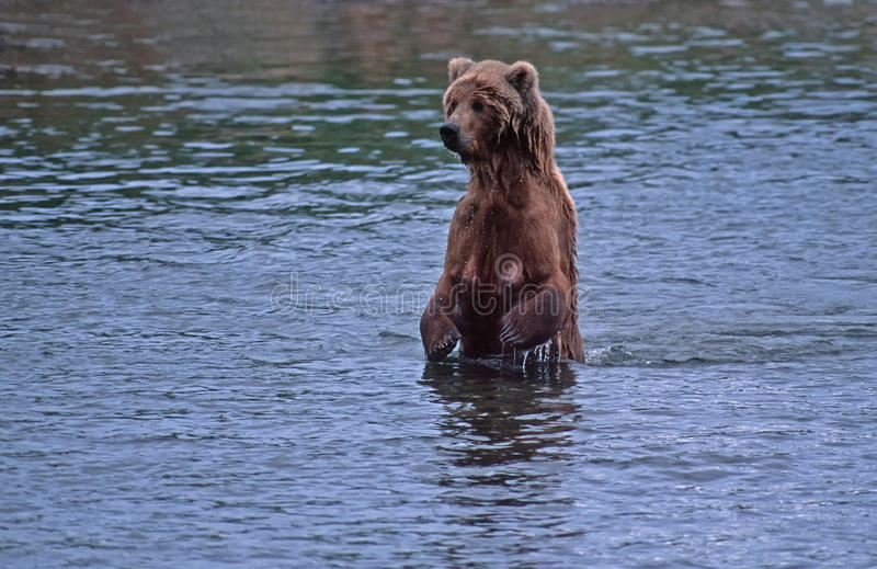 Download Grizzly bear stock image. Image of river, water, alaska - 11152205