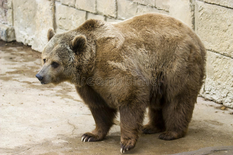 Download Grizzly bear stock image. Image of claws, bear, carnivorous - 14119057