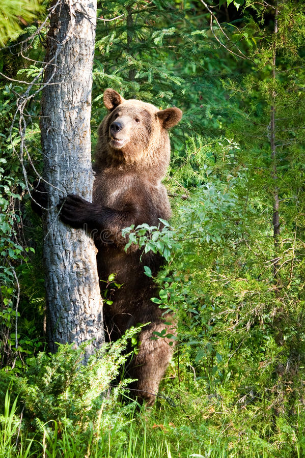 Download Grizzly Bear stock image. Image of standing, bear, stand - 15254469
