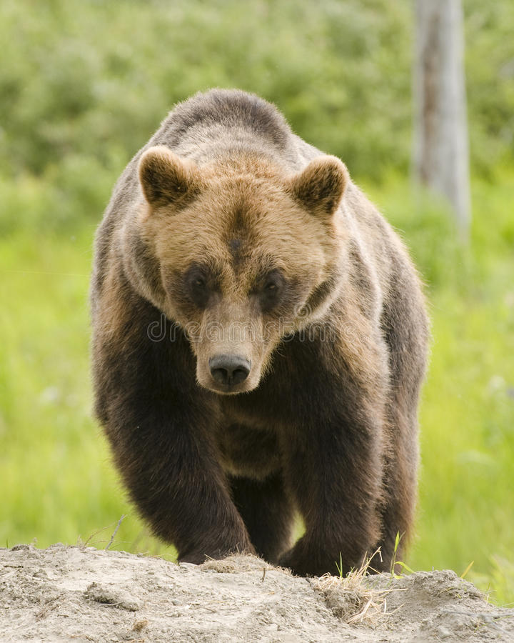 Download Grizzly Bear Stock Photos - Image: 15308953