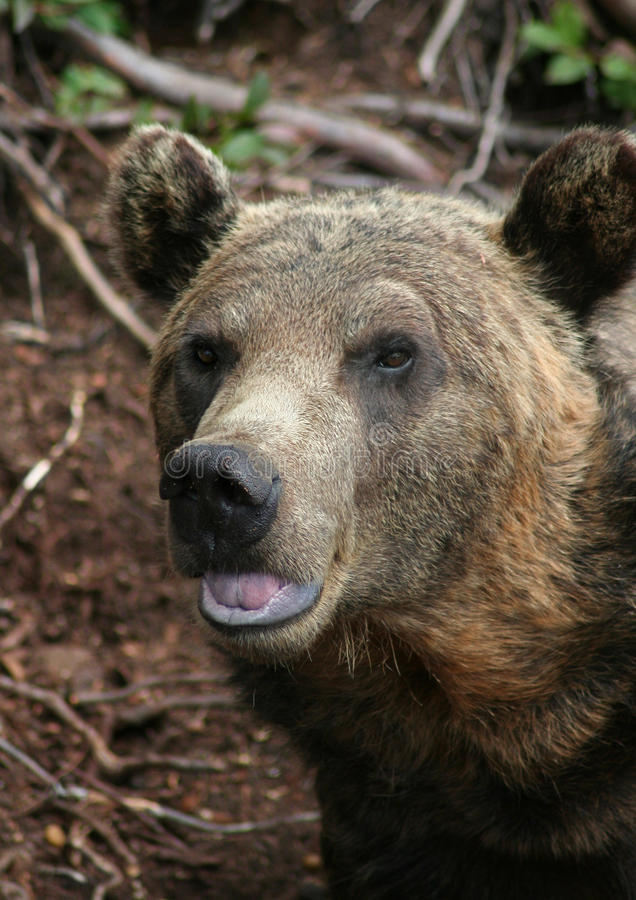 Free Grizzly Bear Royalty Free Stock Photo - 20629225