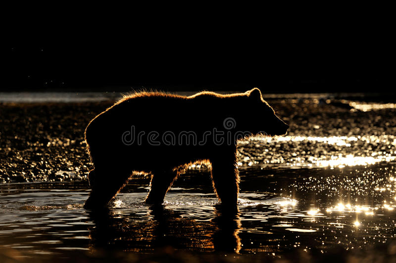 Grizzly Bear. In river at sunset stock images