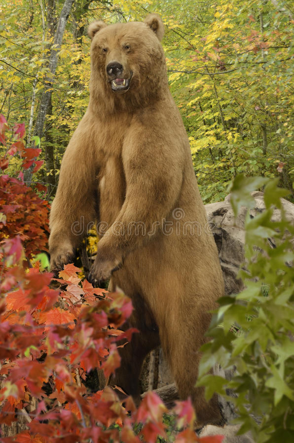 Download Grizzly Bear stock photo. Image of brown, predator, standing - 26138994