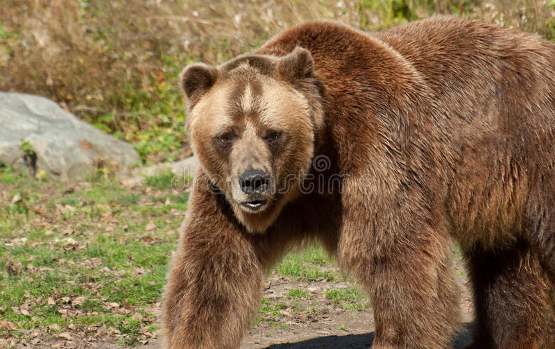 Download Grizzly bear stock photo. Image of furry, mammal, large - 27593808