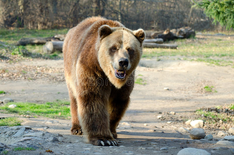 Download Grizzly Bear stock image. Image of wild, walking, kodiak - 28257123