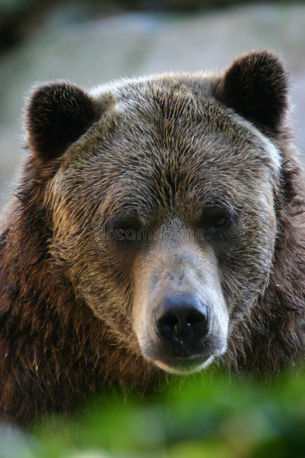 Grizzly bear stock photos