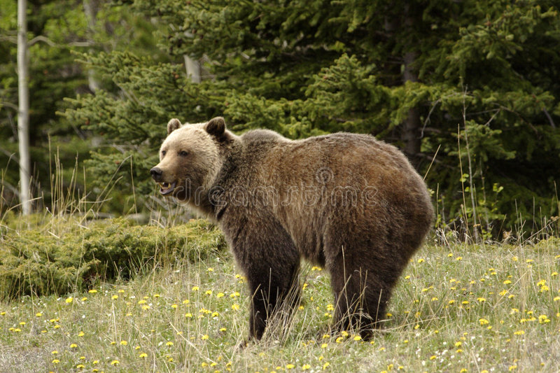 Grizzly bear, royalty free stock image