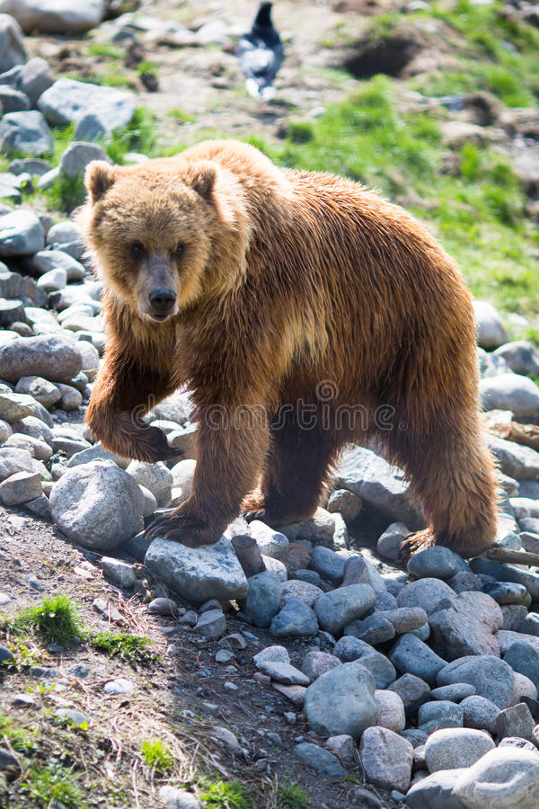 Free Grizzly Bear Stock Photos - 41155703
