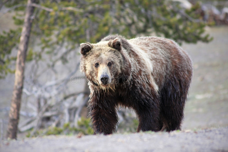 Download Grizzly Bear stock photo. Image of park, claw, face, trees - 5218590
