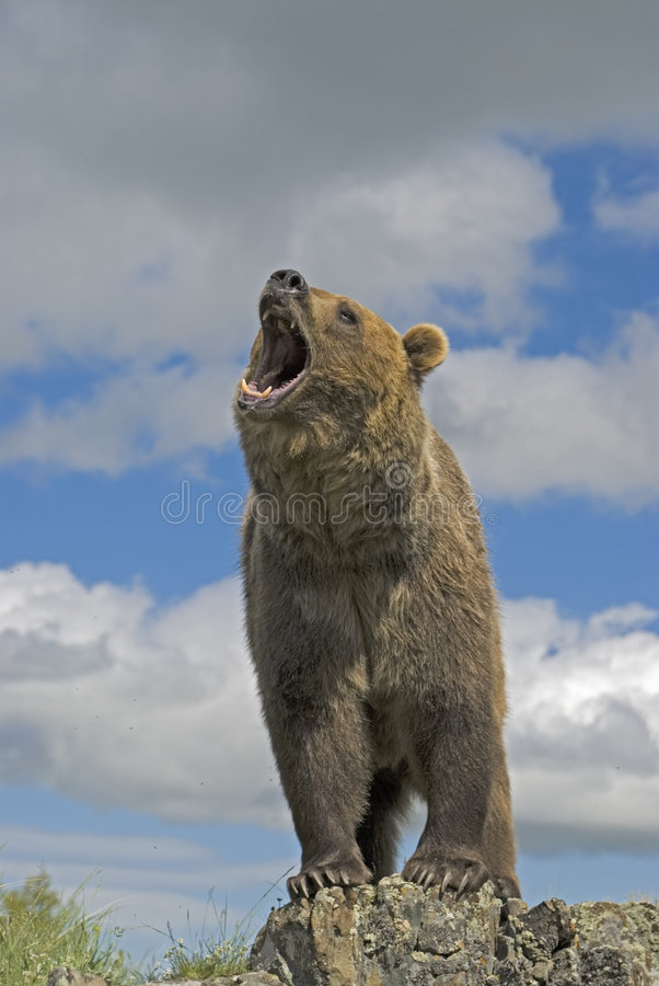 Grizzly bear. Roaring on a Montana ridge