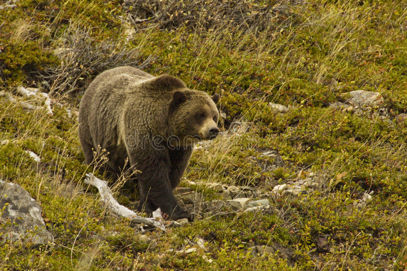 Download Grizzly Bear stock image. Image of hump, brown, feeding - 7086313