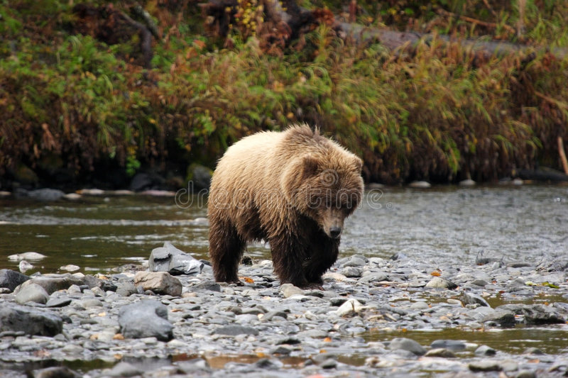 Grizzly bear approaching royalty free stock photos
