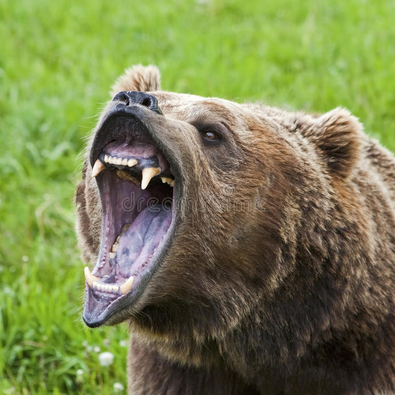 Grizzly Bear arctos ursus closeup teeth growling royalty free stock photography